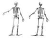 human skeleton vintage nineteenth century engraving - 33136247