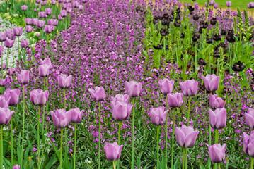 Purple tulips in Hyde Park, London, UK