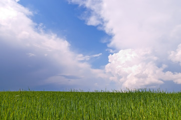 Belarus green wheat field and blue sky and dramatic different cl