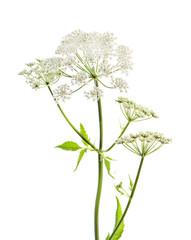 Aegopodium, aise-weed, glague