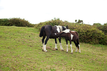 Mother Mare Feeding Her Foal