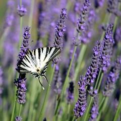 Papillon machaon dans un champ de lavandes