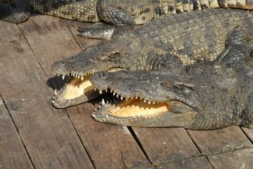 Krokodile in Farm 1