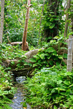 Jungle Stream Flows under Root