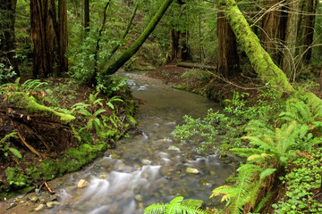 Lush Redwood Forest and Stream, California