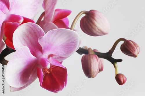 Panel Szklany beautiful pink orchids on white background