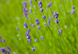 Lavendel - Background