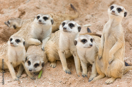 Papiers peints Hyène meerkats