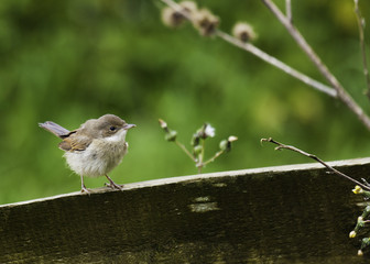 Fledgeling Reed Warbler Perching On A Fence