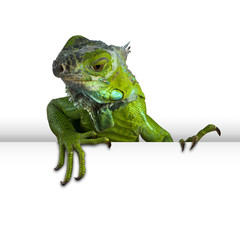 iguana peeking