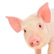 Pig on white - 33179059