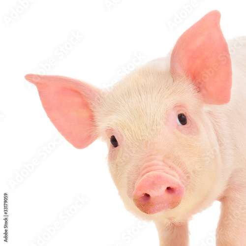 Pig on white