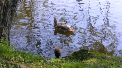 Duck family, swimming in the pond, Bruges, Belgium