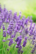 Lavendel blommor
