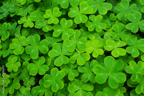 Carpet of Clover - 33180070
