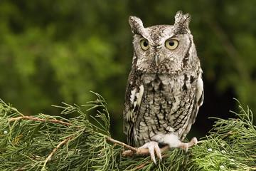 Eastern Screech Owl - Grey Phase