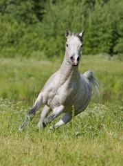 free arab horse