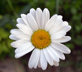 Flower a camomile