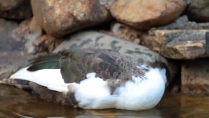 Duck in autumn pond