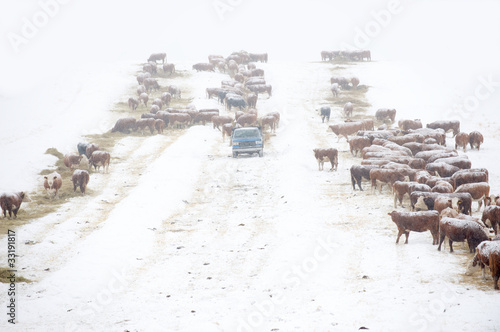 Rancher feeds cattle