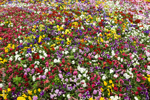 Colorful flower carpet in park - pansies. multicolored flowers
