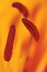Orange lili flower
