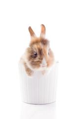 Coniglio Nano con Testa di Leone Curioso