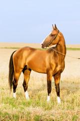 golden akhal-teke stallion portrait in summer