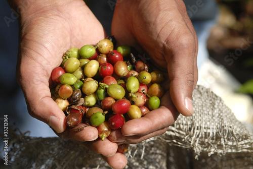 repubblica dominicana.,raccoglitore di caffè