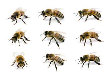 Bee, Apis mellifera, European or Western honey bee, various view