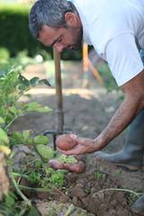 Man digging up potatoes