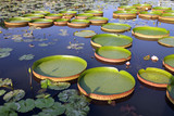 Victoria Regia - the largest waterlily in the world