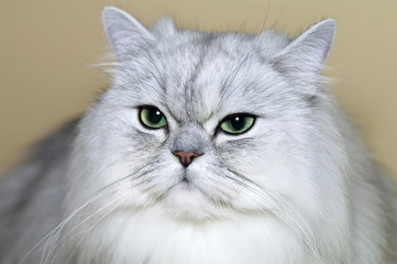 Portrait of  grey Persian cat