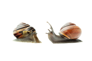 Two garden snails isolated on white background