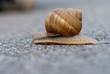 Crawling Snail closeup