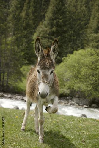 funny donkey near river in  Tien Shan kyrgyz mountain