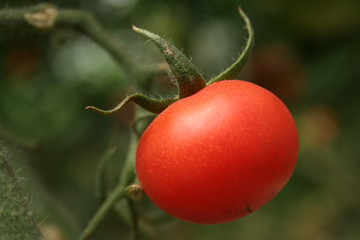 red tomato ripening on the bush