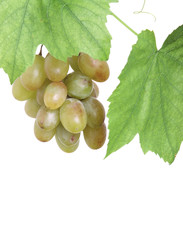 bunch of green grapes in a grapevine isolated