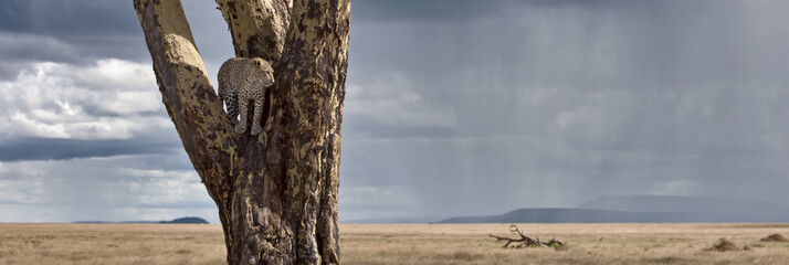 Leopard in tree in Serengeti National Park of Tanzania, Africa