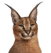 Close-up of Caracal, Caracal caracal, 6 months old