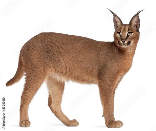 Papiers peints Lynx Caracal, Caracal caracal, 6 months old