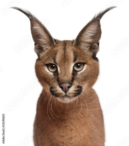 close-up-of-caracal-caracal-caracal-6-miesiecy