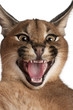 Close-up of Caracal hissing, Caracal caracal, 6 months old