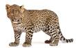 Leopard, Panthera pardus, 6 months old