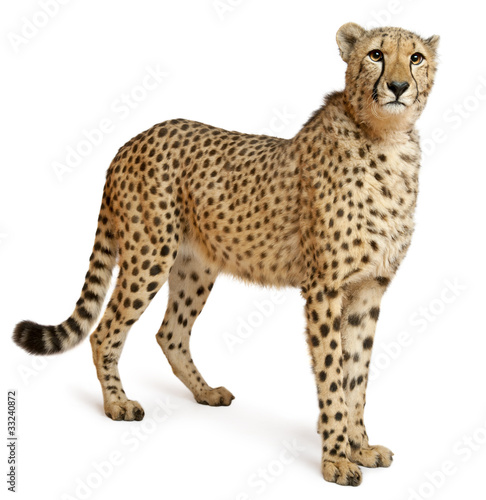 Poster Cheetah, Acinonyx jubatus, 18 months old, standing