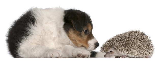 Border Collie puppy, 6 weeks old, playing with a hedgehog