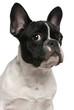Close-up of French bulldog puppy, 5 months old