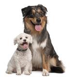 Australian Shepherd dog, 17 months old, and Bichon Frise poster