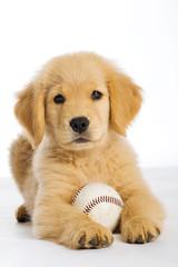 Golden Retriever Puppy with a baseball