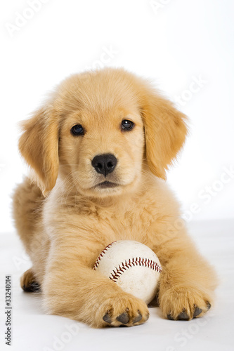 Golden Retriever Puppy with a baseball